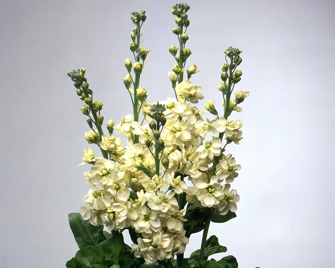 Picture White Flowers Matthiola Closeup Flower-bud Gray background flower