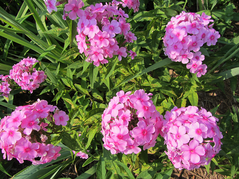 Fotos von Rosa Farbe Phlox Blumen Blüte Flammenblumen