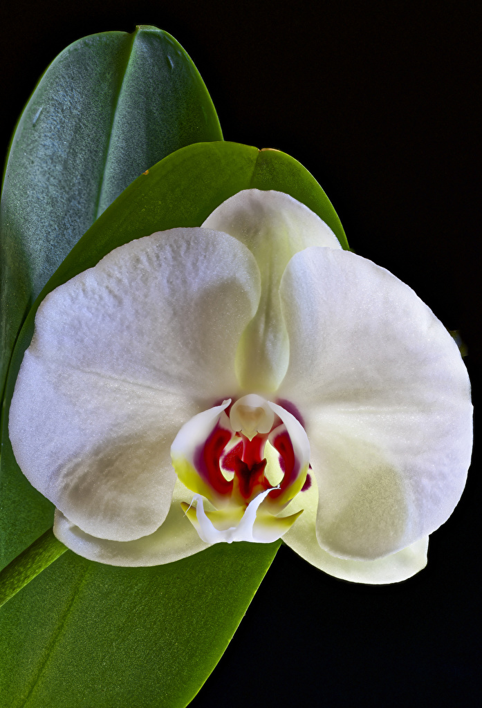 Desktop Wallpapers White Orchid Flowers Closeup Black background  for Mobile phone orchids flower