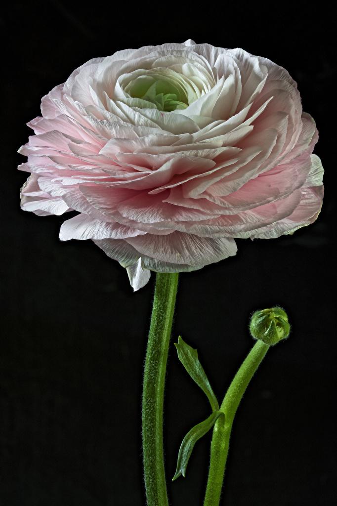 Bilder von Blüte Hahnenfuß Nahaufnahme Schwarzer Hintergrund  für Handy Blumen Ranunkel hautnah Großansicht