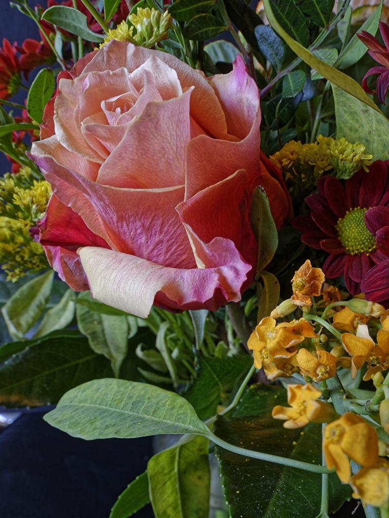 Tapety na pulpit Róże Kwiaty zbliżenie  dla Telefon komórkowy róża kwiat Z bliska