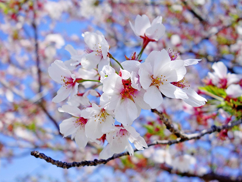 ,開花的樹,特寫,枝,白色,樱花,花卉,