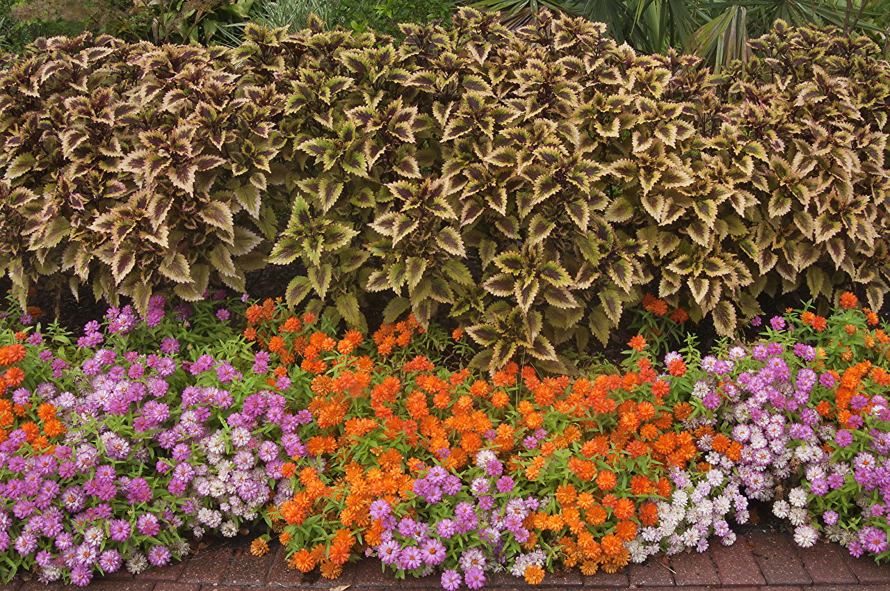 Fotos Blüte Zinnien Buntnesseln Viel Blumen