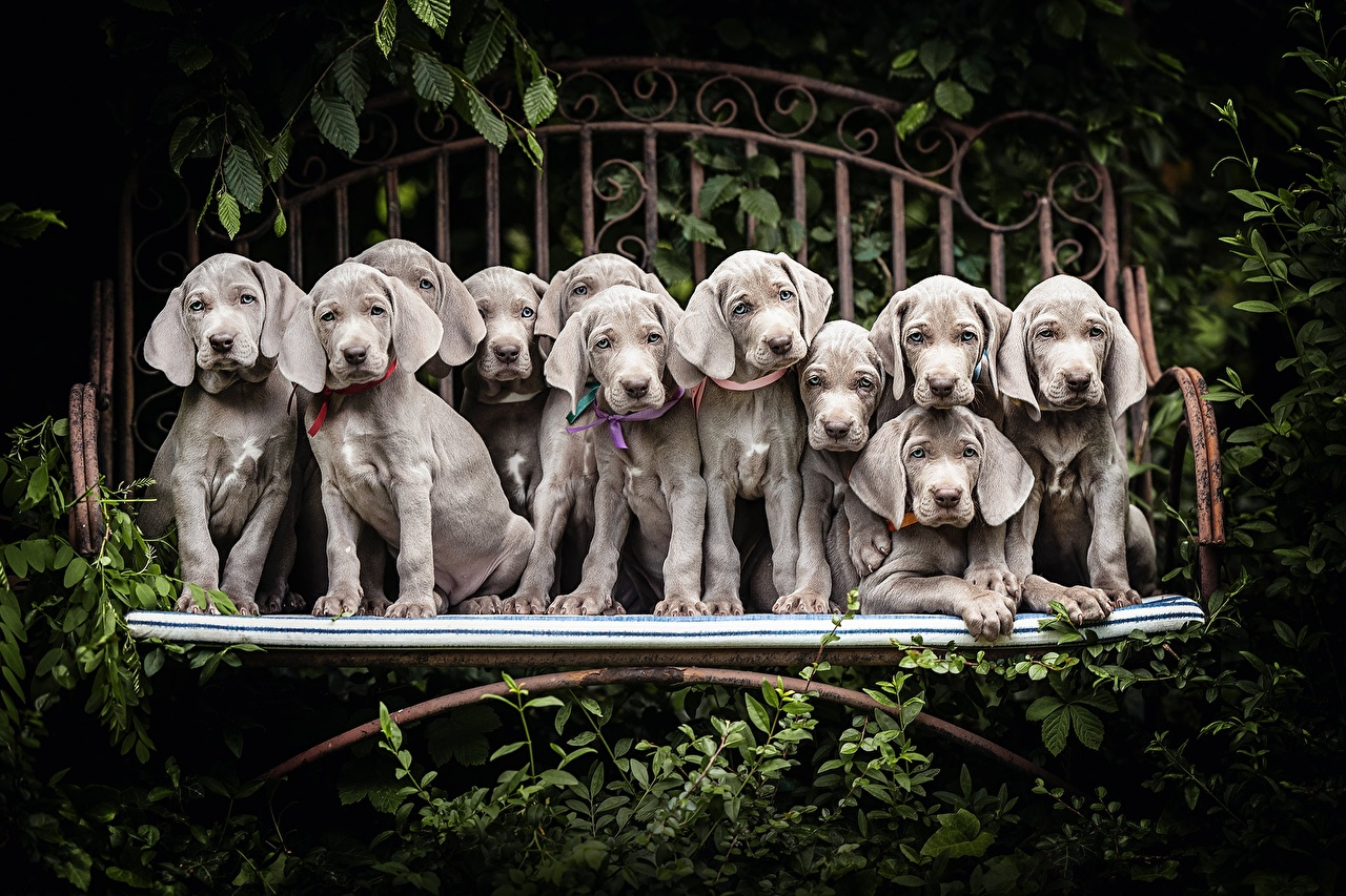 Pictures puppies Weimaraner dog Grey Many animal Puppy Dogs gray Animals