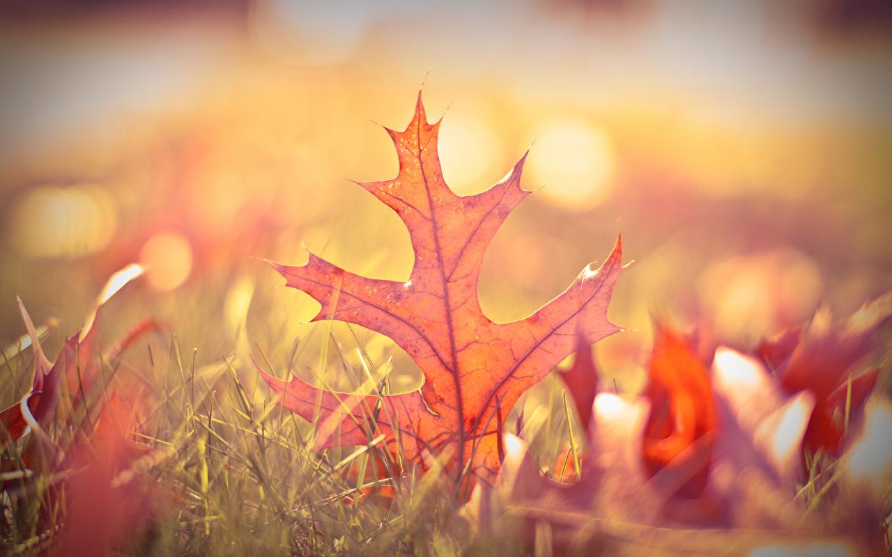 Picture Foliage blurred background Oak Autumn Nature Grass Closeup Leaf Bokeh