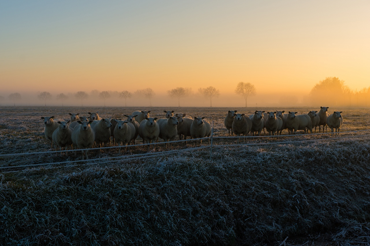 Images Sheep Frost Fog Herd Morning Grass Animals animal