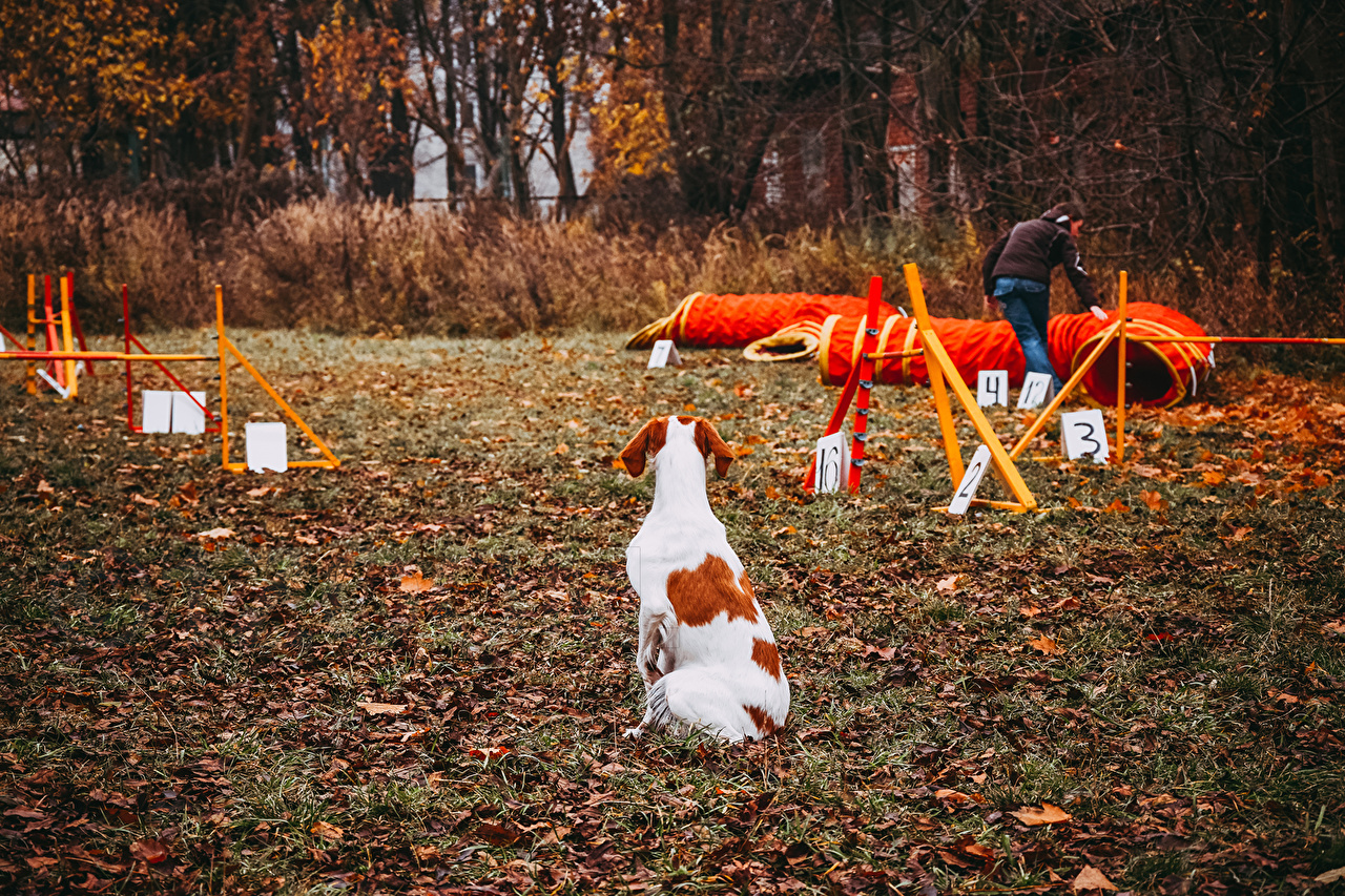 Photo Dogs Brittany Dog agility Autumn athletic Animals dog Sport sports animal