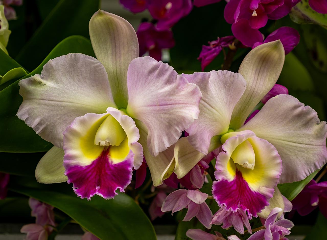 Pictures orchids Flowers Closeup Orchid flower
