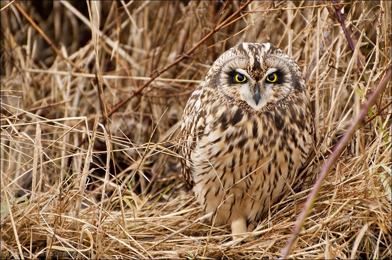 Tapety sowa Ptaki Trawa Słoma suchy wzrok Zwierzęta ptak Sowy Suche zwierzę Spojrzenie