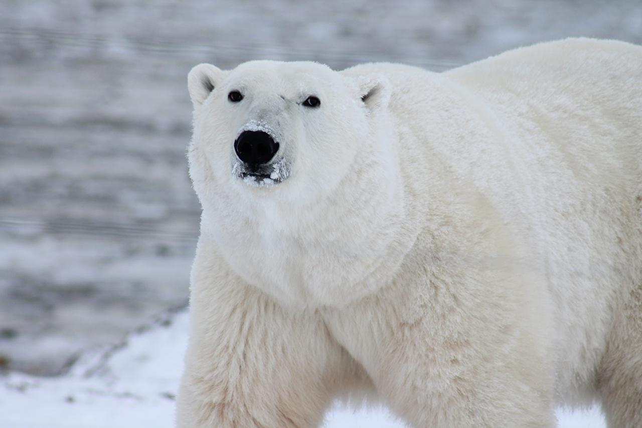 Bilder Eisbär Bären Schnauze Tiere Starren hautnah ein Bär Blick ein Tier Nahaufnahme Großansicht