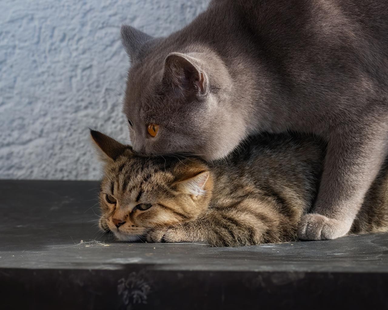Image British Shorthair Cats 2 Animals cat Two animal