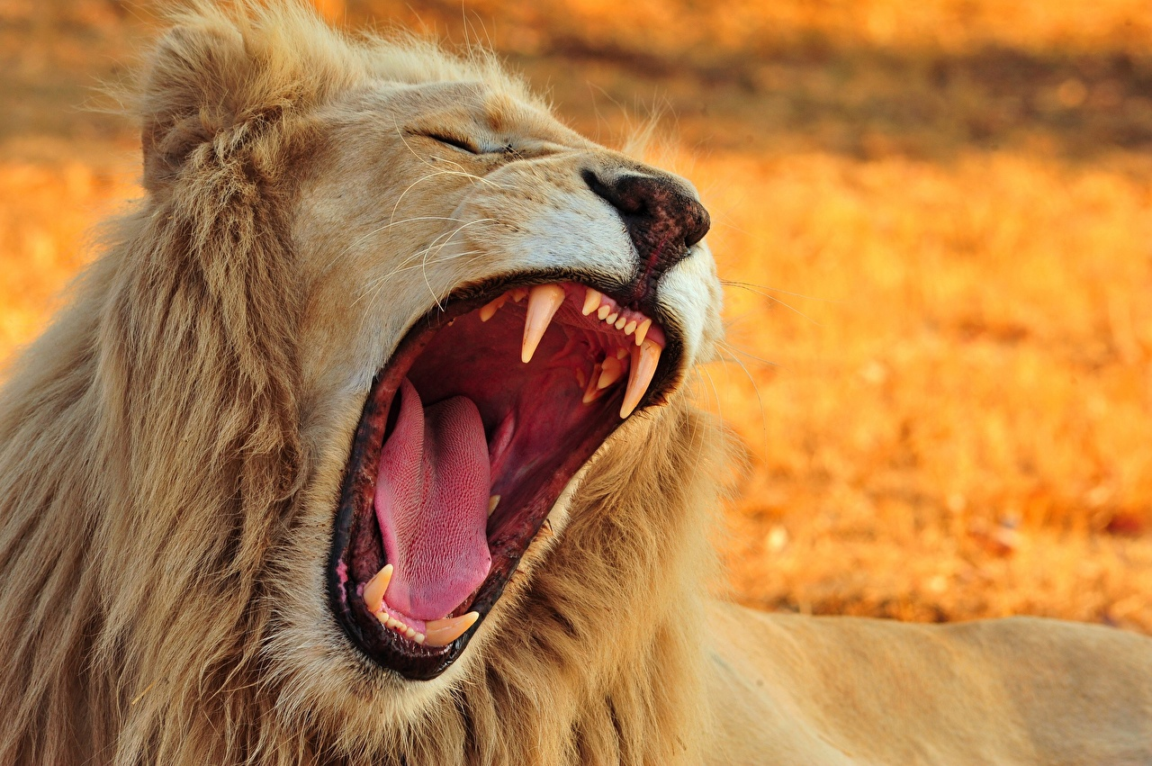 Photo lion Canine tooth fangs Tongue Roar Teeth Animals