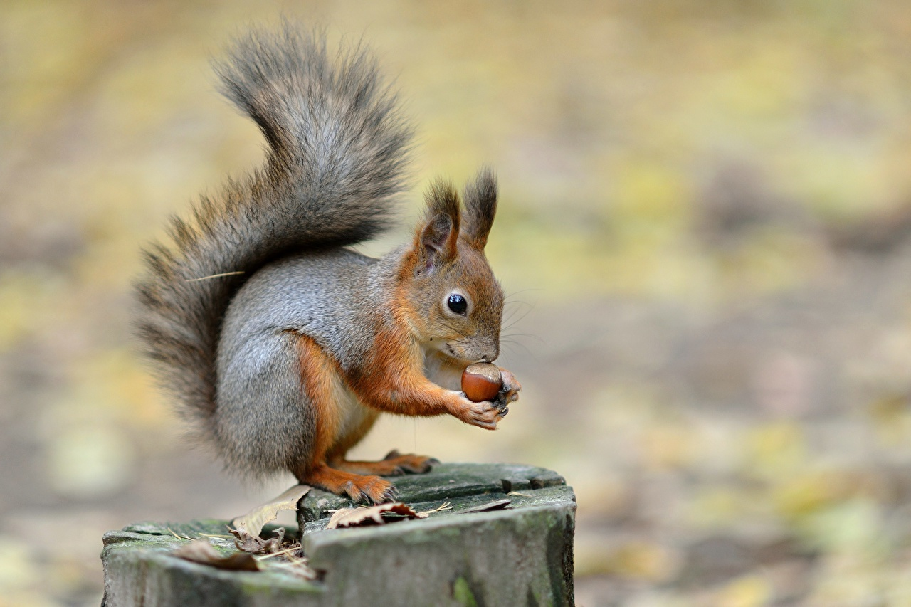 Photos Squirrels blurred background Tree stump Nuts Animals Bokeh animal
