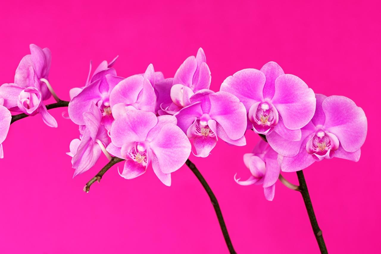 Photos Orchid Pink color flower Closeup orchids Flowers