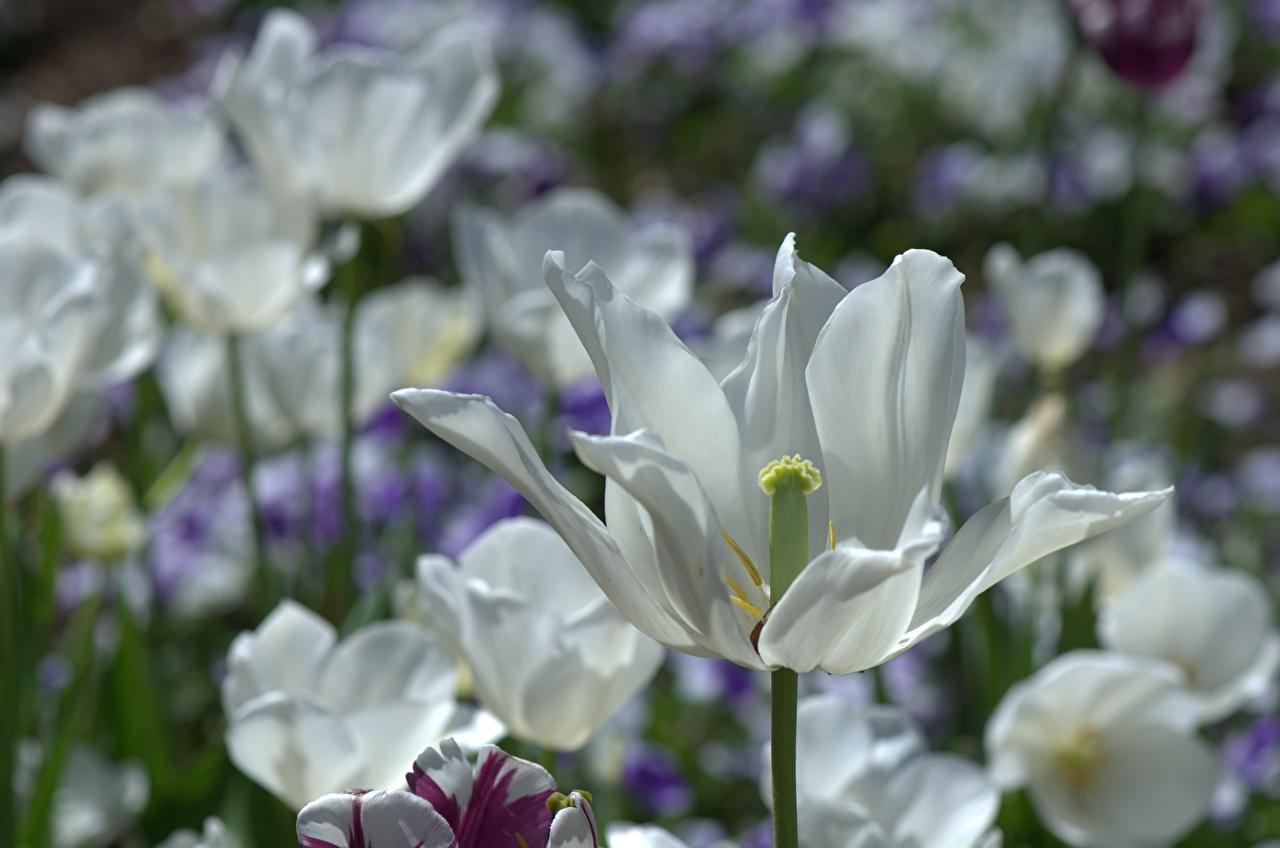 Bilder von Weiß Tulpen Blumen hautnah Blüte Nahaufnahme Großansicht