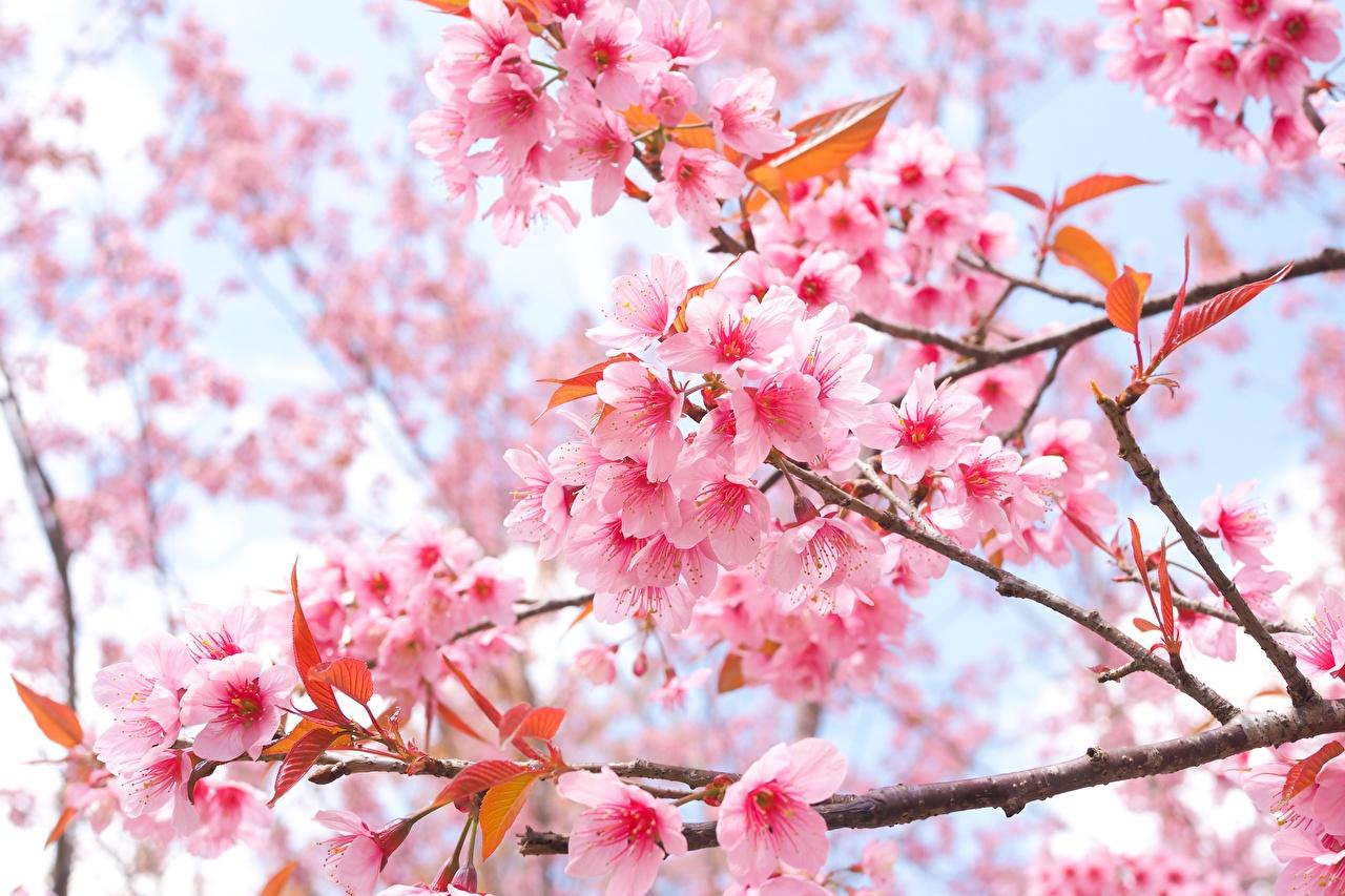 Desktop Wallpapers Sakura Flower Branches Flowering Trees
