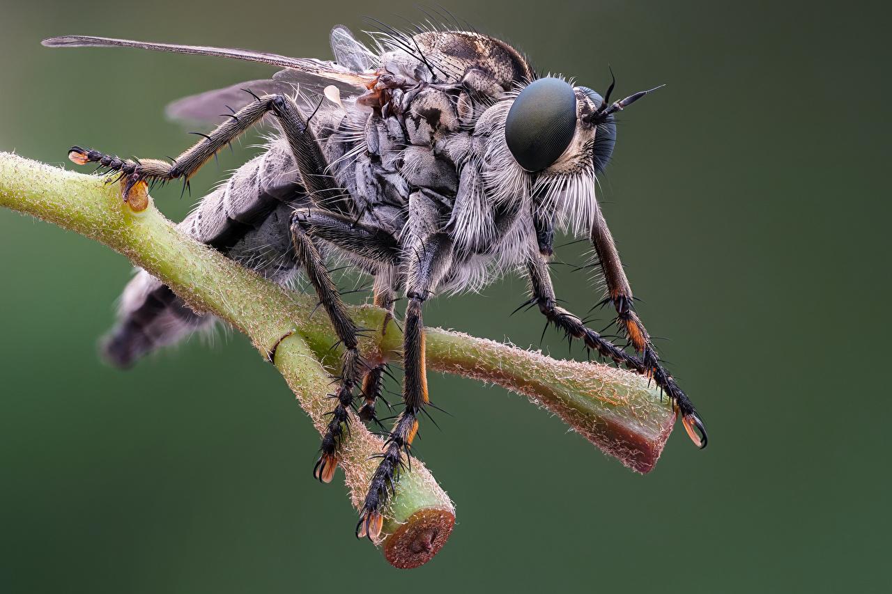 Bilder von Fliegen Insekten eutolmus rufibarbis ein Tier Nahaufnahme Tiere hautnah Großansicht