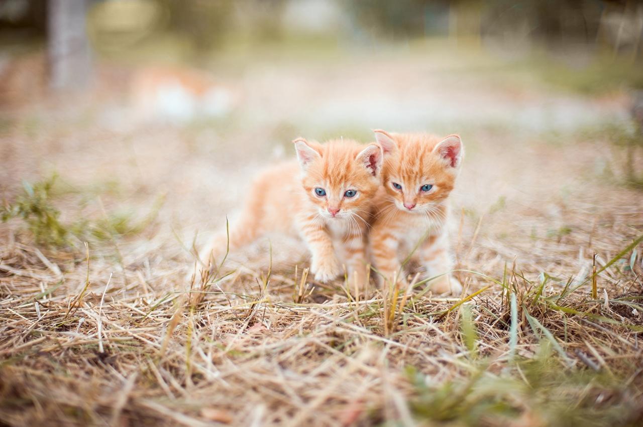 Foto Katzenjunges Katzen unscharfer Hintergrund süßes Zwei ingwer farbe Gras Tiere Kätzchen Katze Hauskatze Bokeh nett Süß süße süßer niedlich 2 Fuchsrot orange rot ein Tier