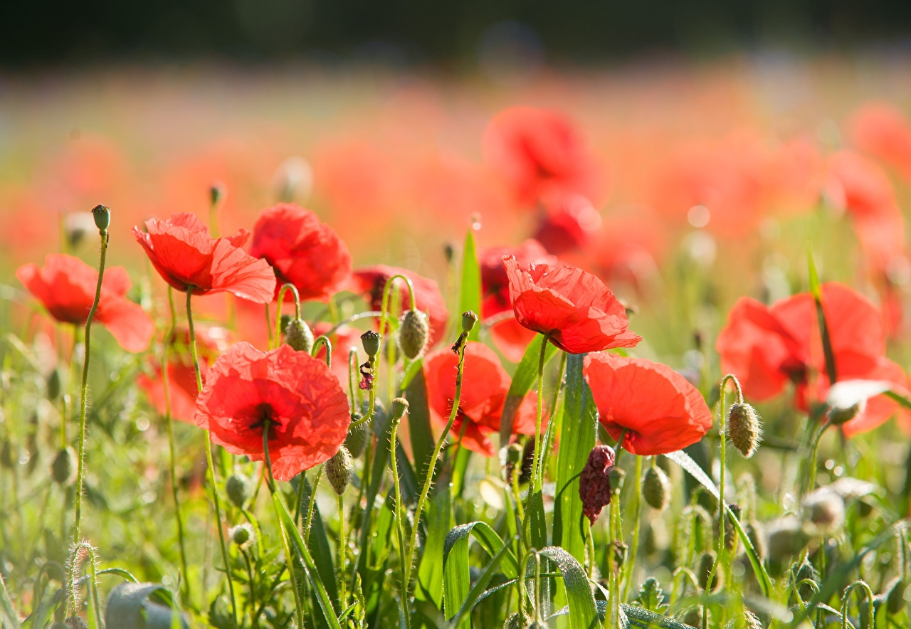 Photo blurred background Red papaver Flowers Closeup Flower-bud Bokeh flower Poppies