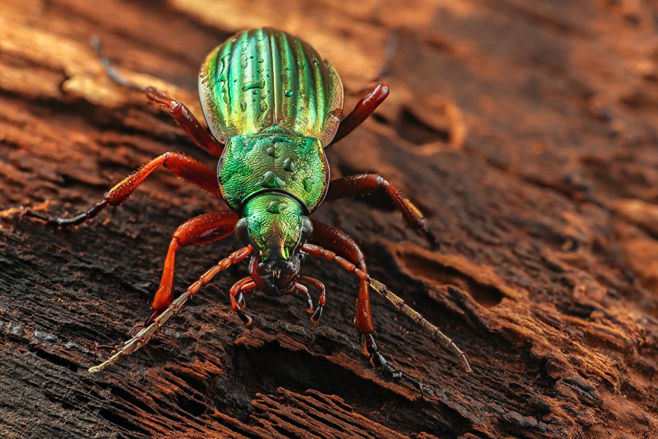 Desktop Hintergrundbilder Käfer Insekten golden ground beetle Tiere Großansicht hautnah ein Tier Nahaufnahme