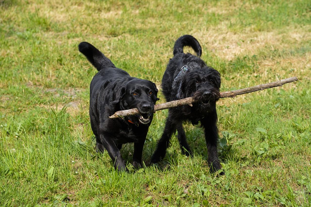 Photo Animals Schnauzer Retriever Dogs Two Grass Labrador Retriever animal dog 2