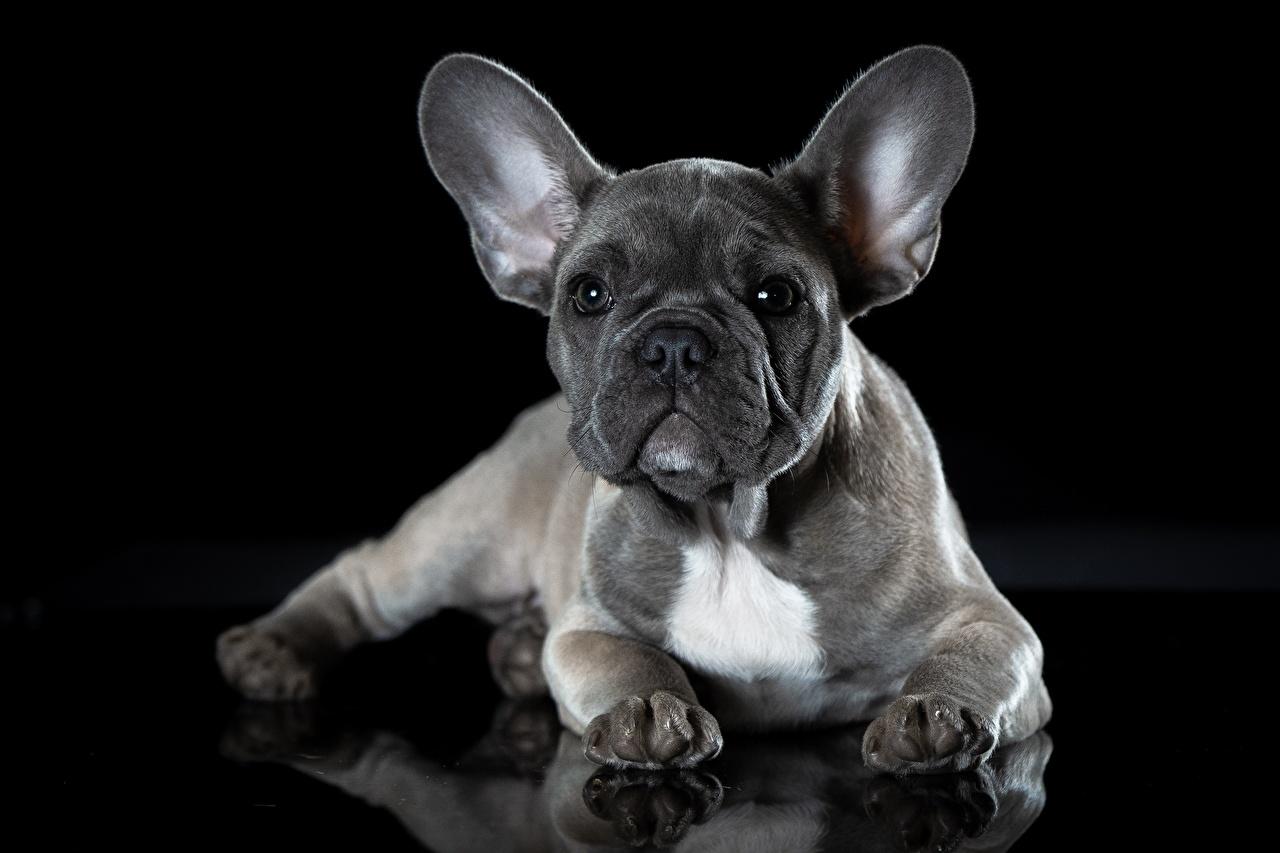 Image French Bulldog dog Grey Animals Black background Dogs gray animal