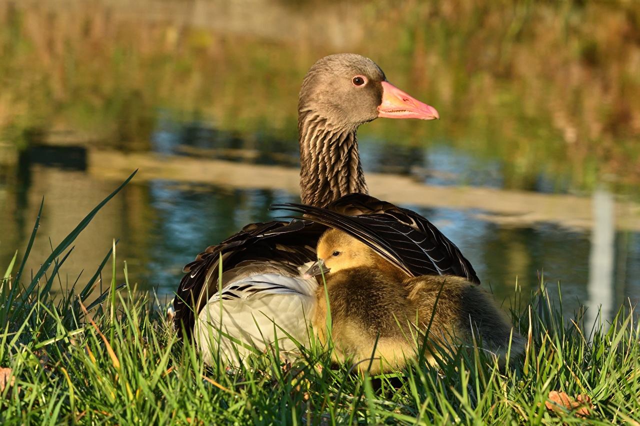 Photos bird goose Nestling Two Grass animal Geese Birds 2 Animals