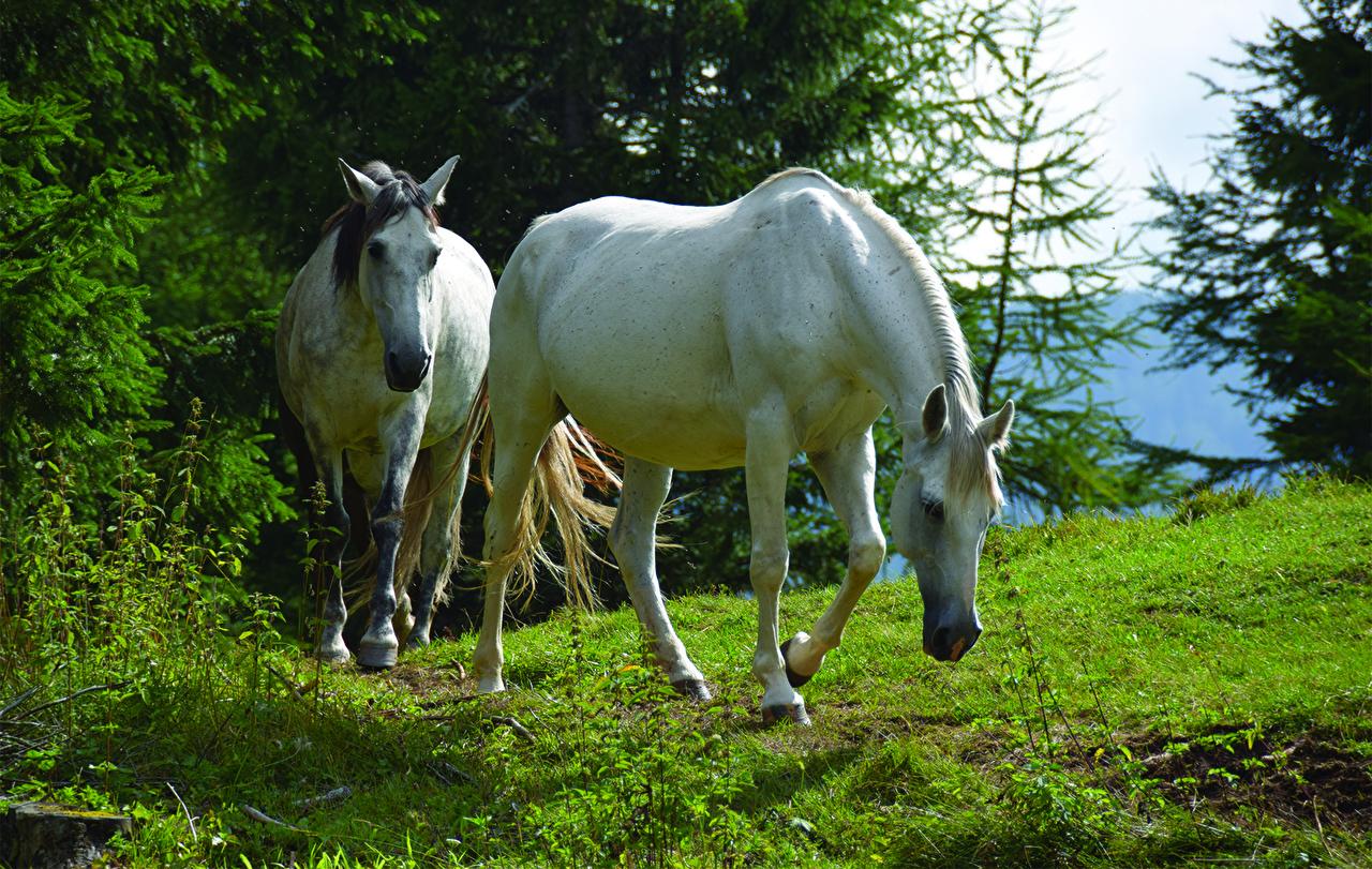 Photo horse Two Grass animal Horses 2 Animals