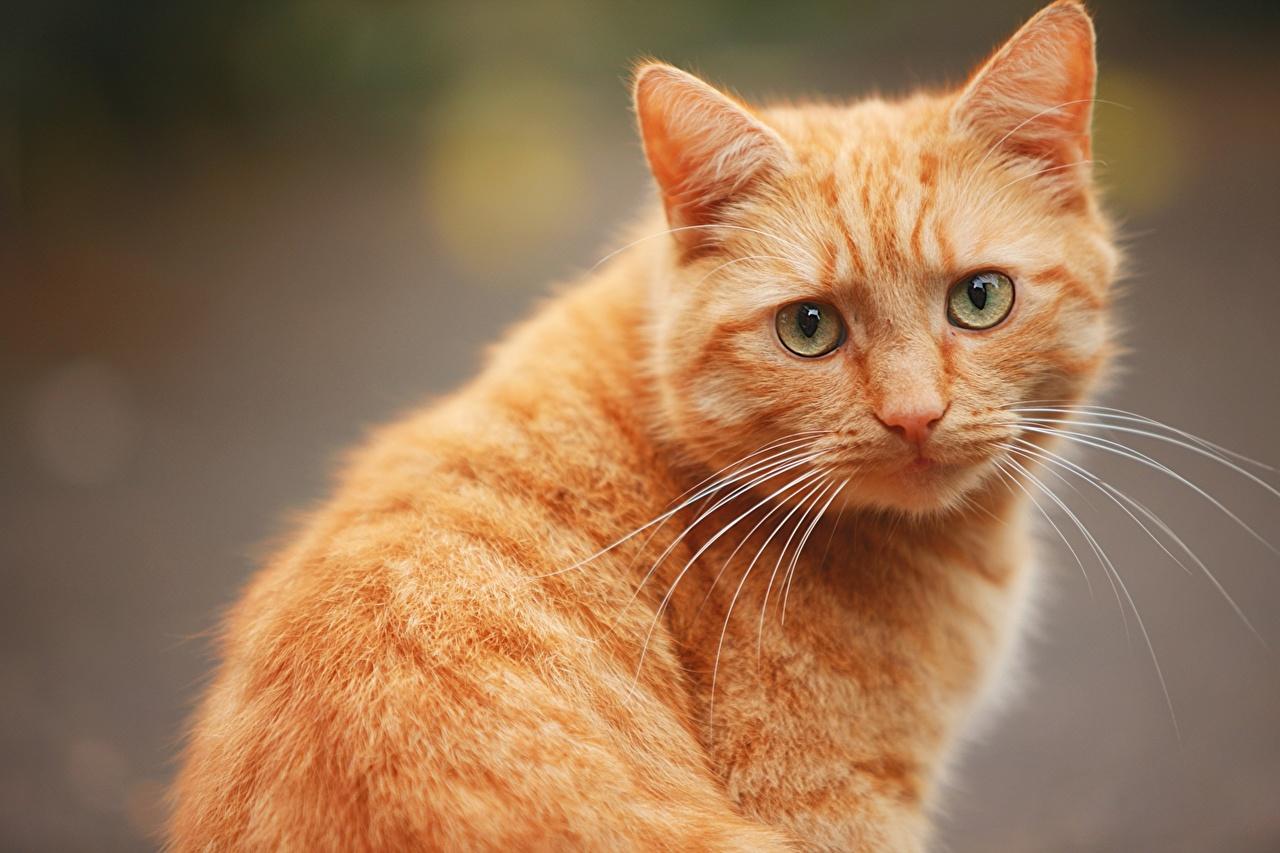 壁紙飼い猫オレンジ色動物凝視動物ダウンロード写真