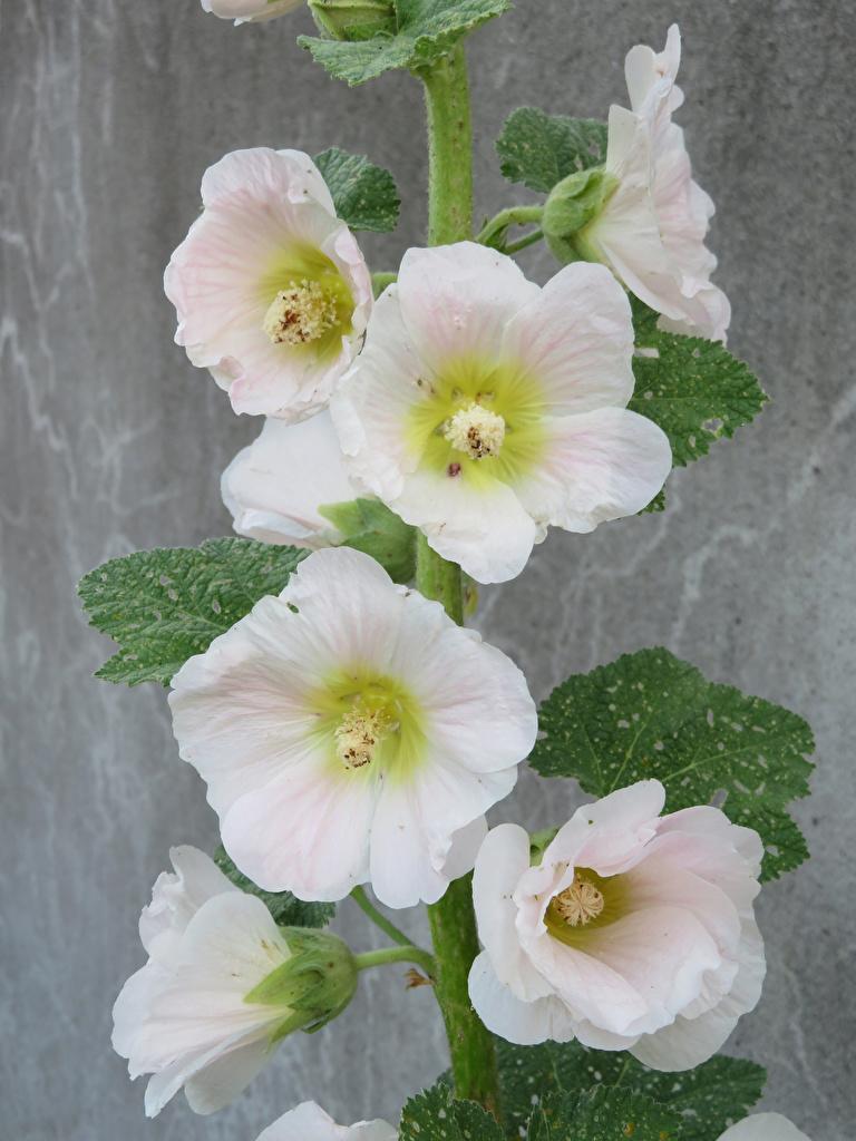 Bilder von Weiß Blumen Malven Nahaufnahme  für Handy Blüte hautnah Großansicht