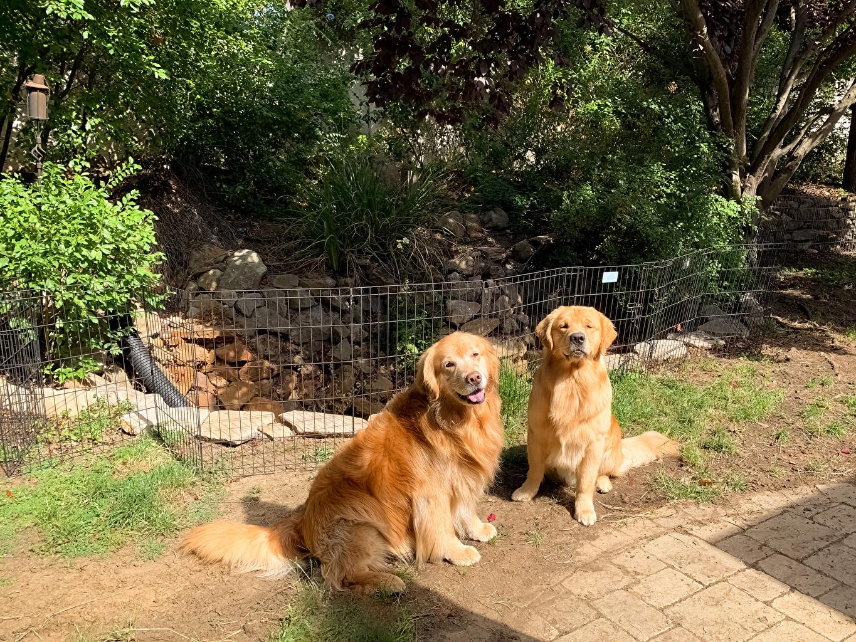 Bilder Golden Retriever hund Zwei Tiere Hunde 2 ein Tier