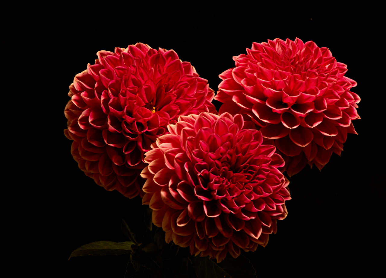 Pictures Red Dahlias Flowers Three 3 Closeup Black background