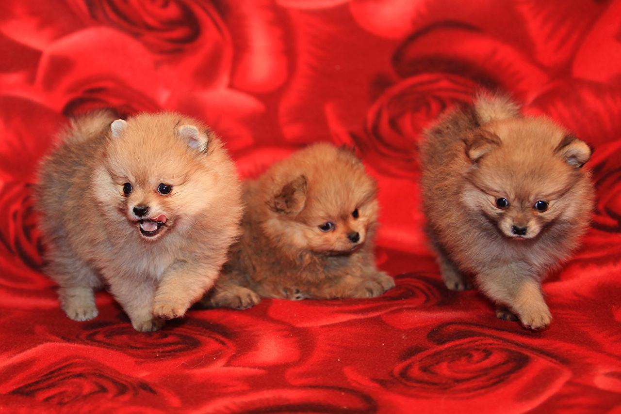 Desktop Wallpapers Spitz puppies Dogs Three 3 animal Puppy dog Animals