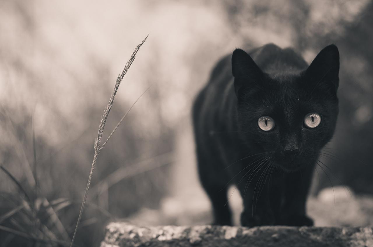 Fondo de pantalla un gato negro