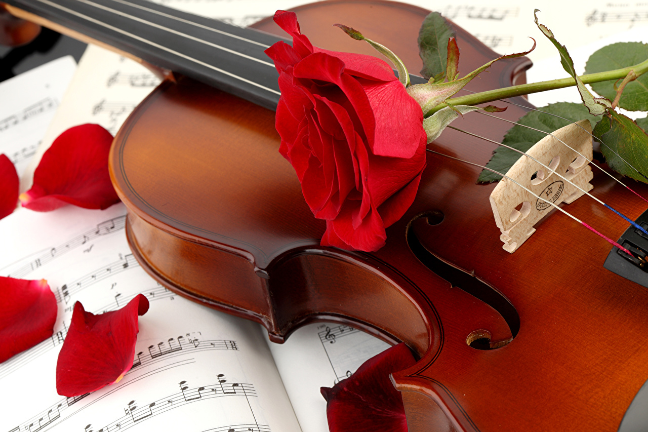 Fonds d'ecran Roses Violon Rouge Pétale Fleurs télécharger photo
