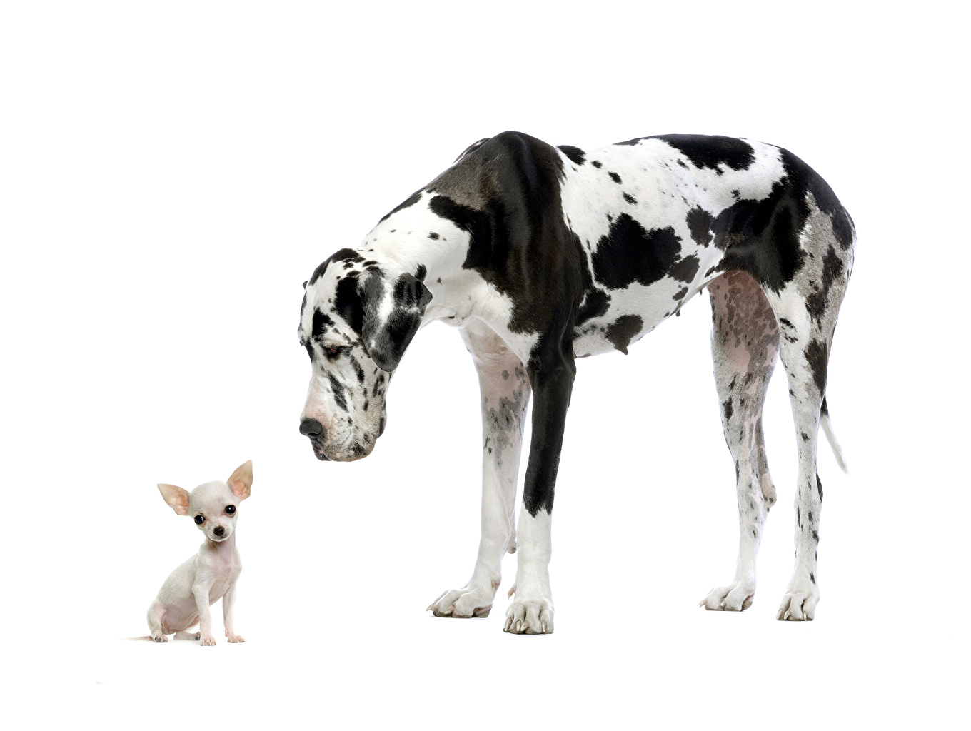 Images Dalmatian Chihuahua dog Two animal White background Dogs 2 Animals