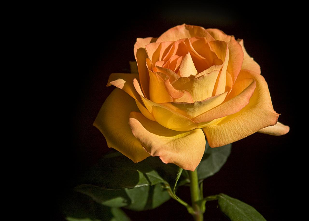 Desktop Wallpapers Roses Orange flower Closeup rose Flowers