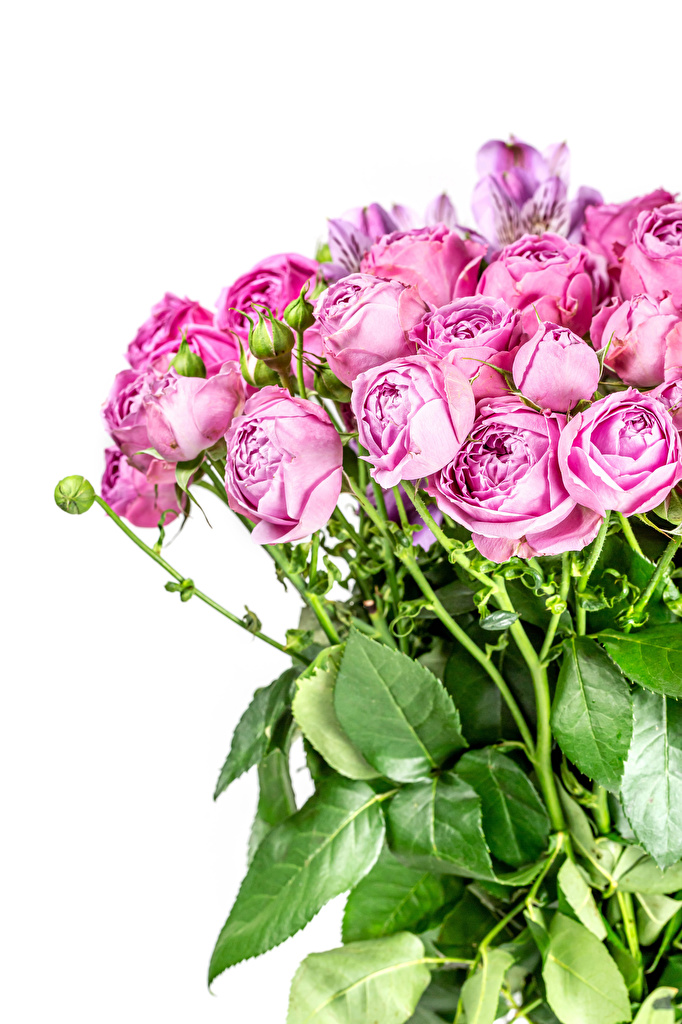 Photo Bouquets rose Pink color flower Flower-bud White background  for Mobile phone bouquet Roses Flowers