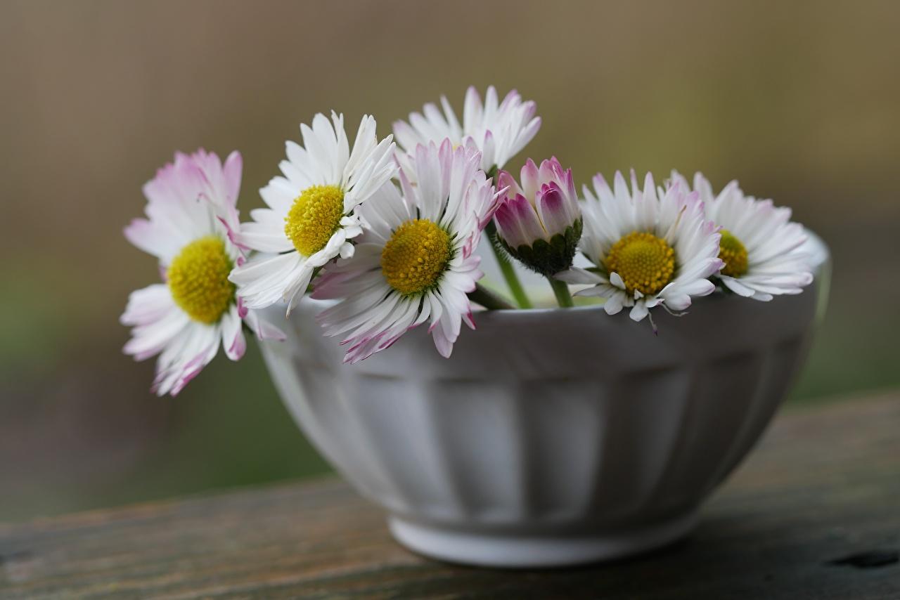 Photos Bokeh Bowl Bellis Flowers blurred background flower