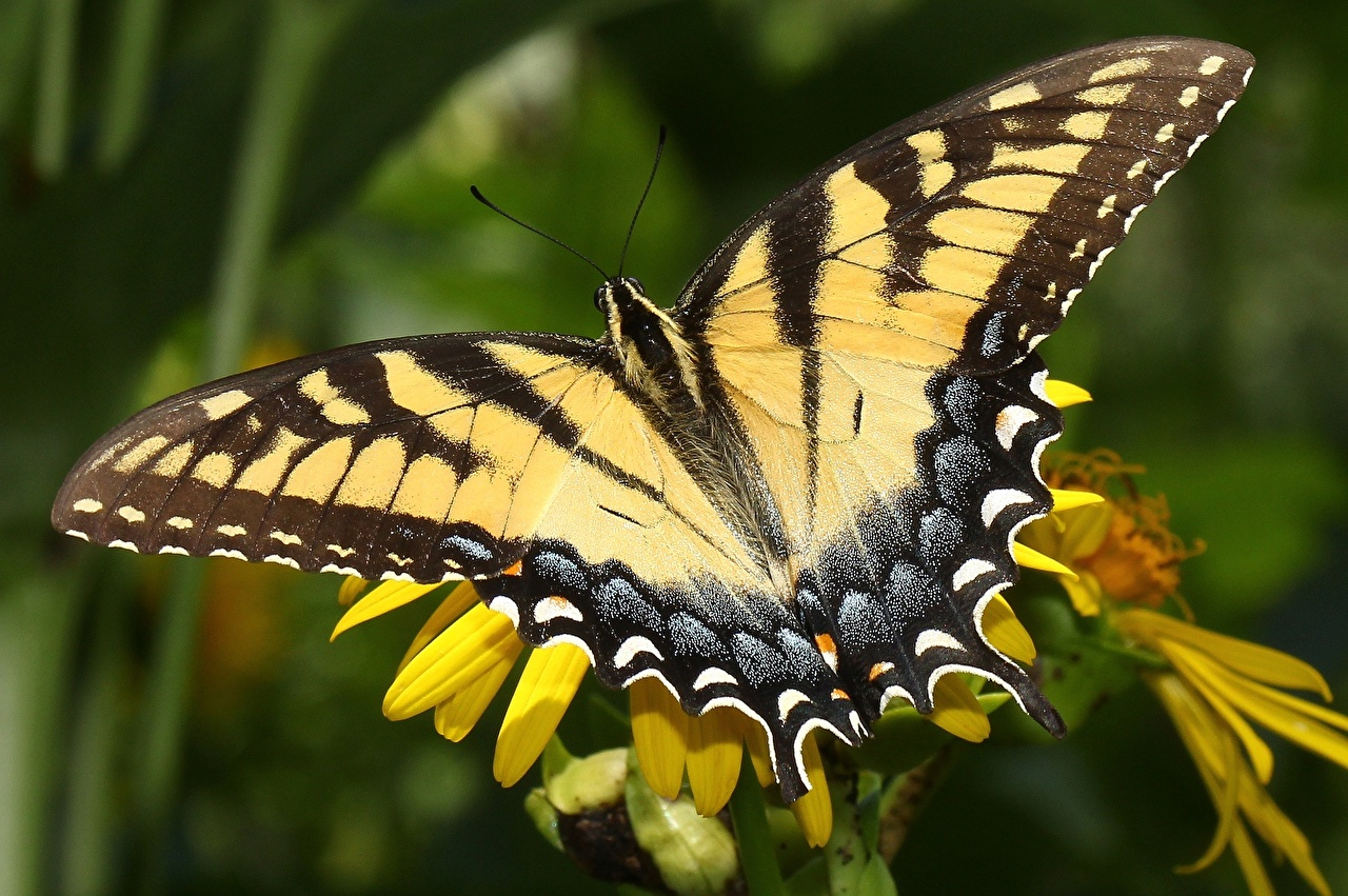 Picture Insects Butterflies Wings Closeup Animals butterfly animal