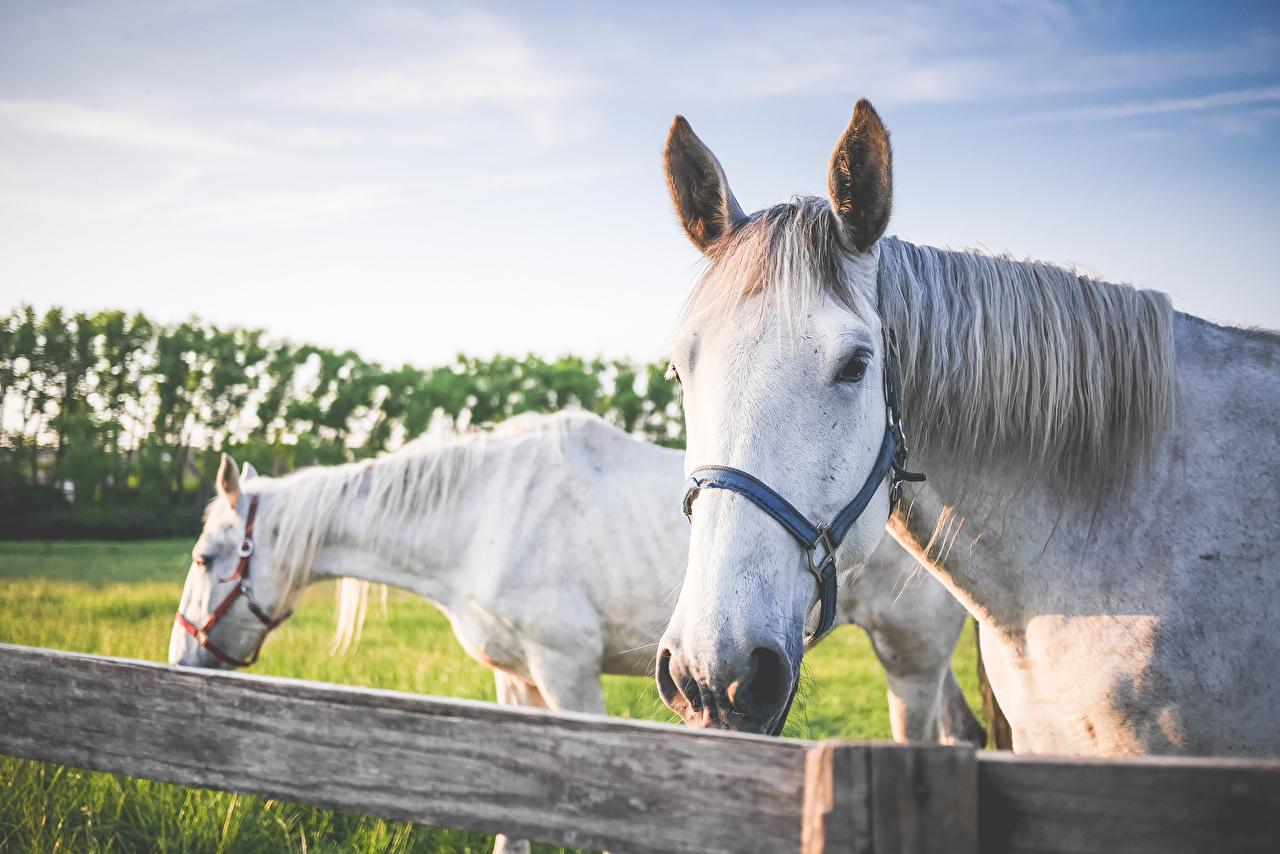 Image horse Two White Animals Horses 2 animal