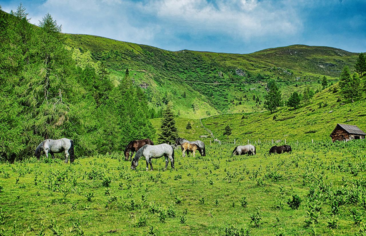 Foto Pferde Österreich Natur Fichten Hügel Grünland Tiere Pferd Hauspferd ein Tier