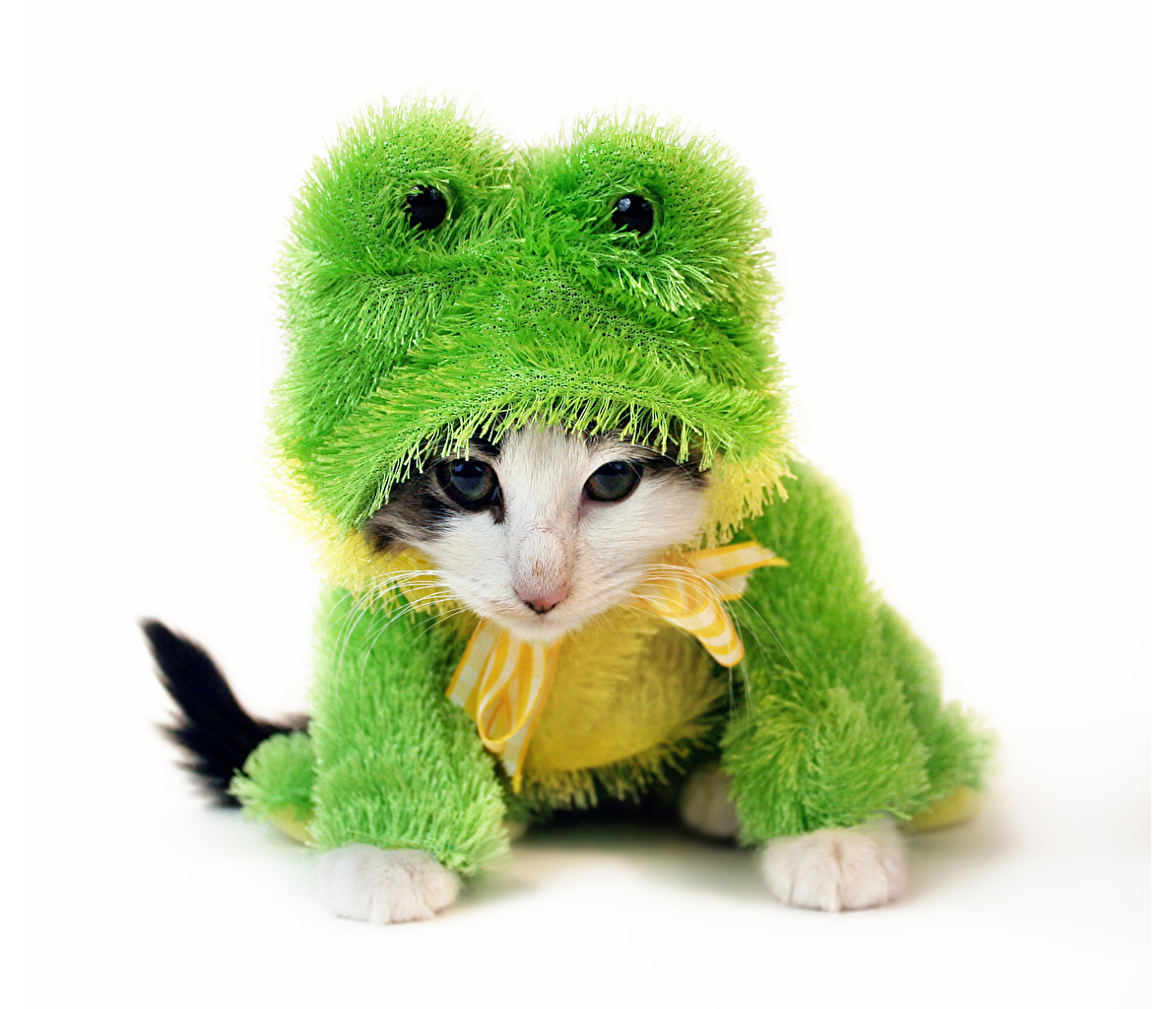 Images Animals Cats Frogs Uniform Funny Staring White background Glance
