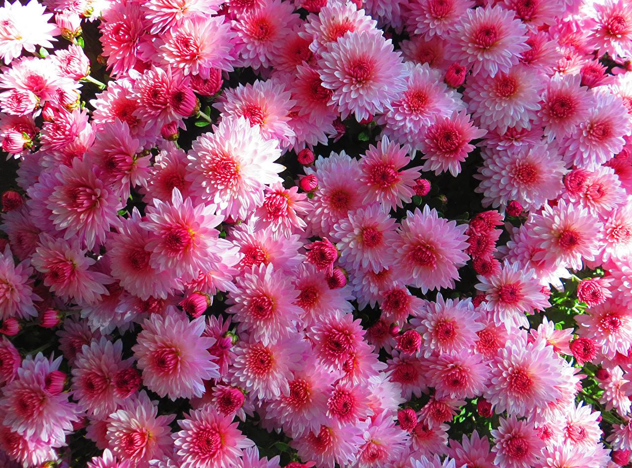 Bilder Rosa Farbe Blumen Chrysanthemen Viel Großansicht Blüte hautnah Nahaufnahme
