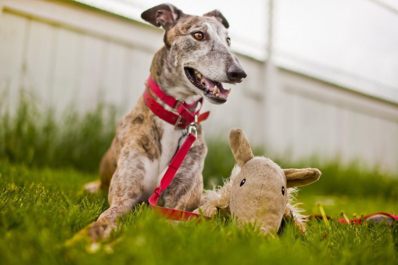 Image Greyhound Sighthound Dogs Animals dog animal