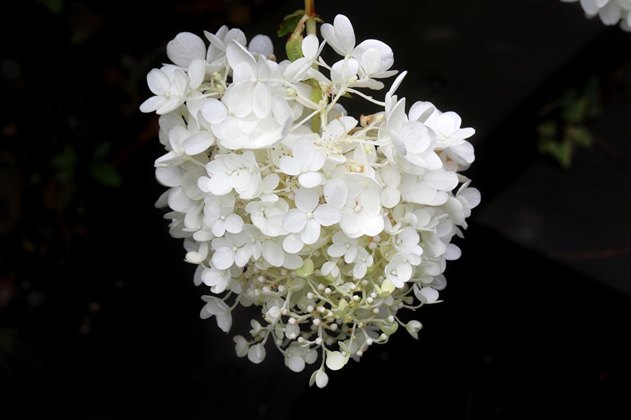 Bilder unscharfer Hintergrund Weiß Blumen Hortensien hautnah Bokeh Blüte Hortensie Nahaufnahme Großansicht