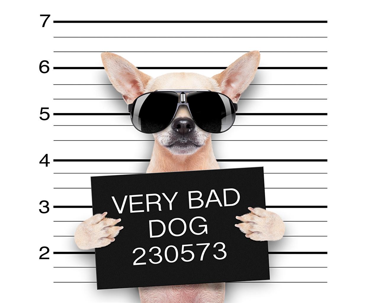 Fotos Chihuahua Hunde englischer Lustige Pfote Kreativ ...