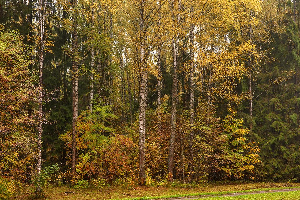 Immagini San Pietroburgo Russia Pavlovsk Natura Betula Autunno Parco Alberi Stagione Betulle parchi