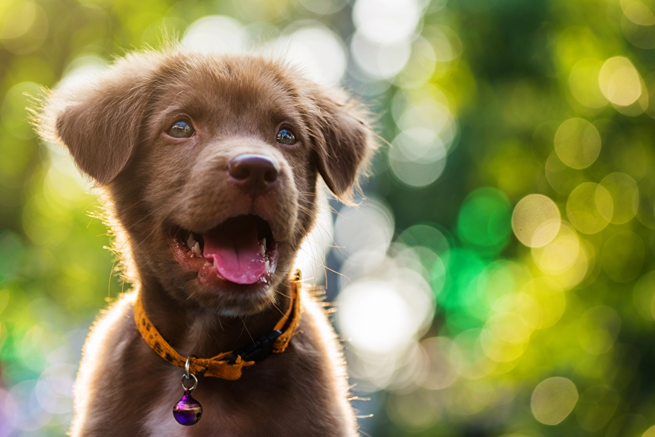 Image puppies Labrador Retriever Dogs Bokeh Tongue Animals Puppy dog blurred background animal