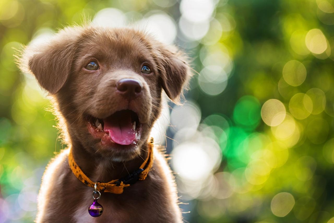 Foto welpen Labrador Retriever Hunde Bokeh Zunge Tiere Welpe hund unscharfer Hintergrund ein Tier
